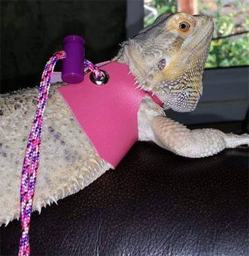 paracord leash for lizards